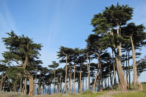 Cypress Trees, Sutro Baths, San Francisco